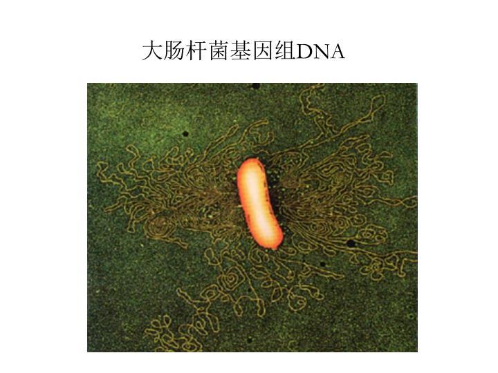 大肠杆菌基因组