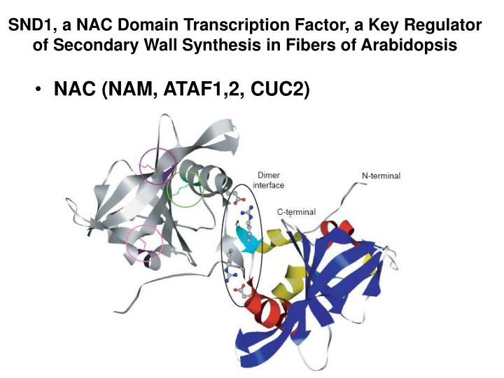 SND1, a NAC Domain Transcription Factor, a Key Regulator of Secondary Wall Synthesis in Fibers of Arabidopsis