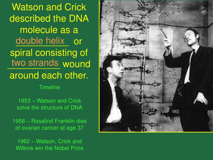 Watson and Crick described the DNA molecule as a __________  or spiral consisting of __________ wound around each other.