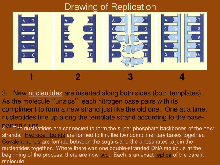 Drawing of Replication