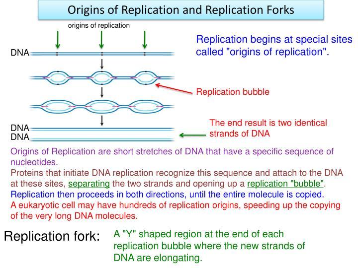 Origins of Replication and Replication Forks