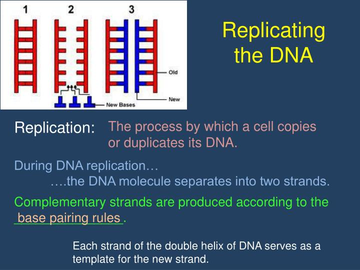 Replicating the DNA