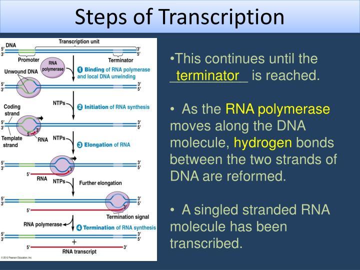Steps of Transcription