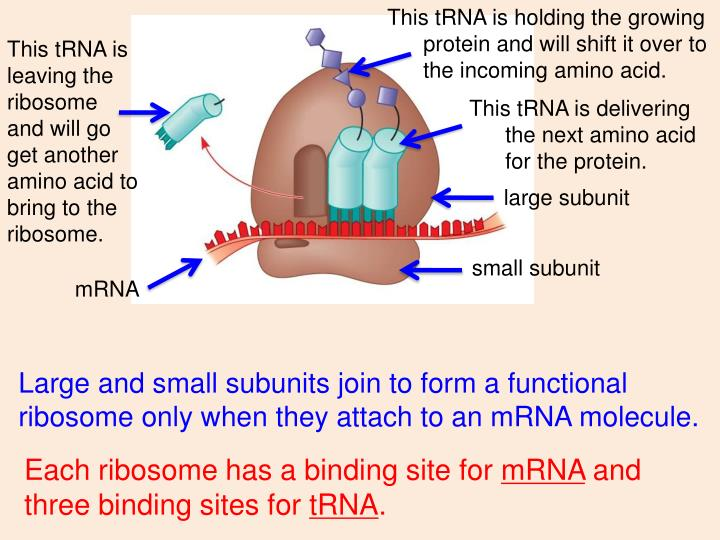 This tRNA is holding the growing protein and will shift it over to the incoming amino acid.
