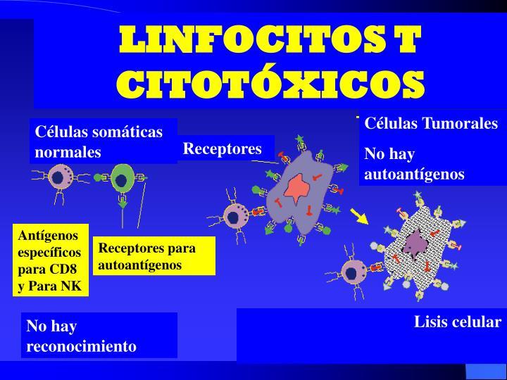 LINFOCITOS T CITOTÓXICOS