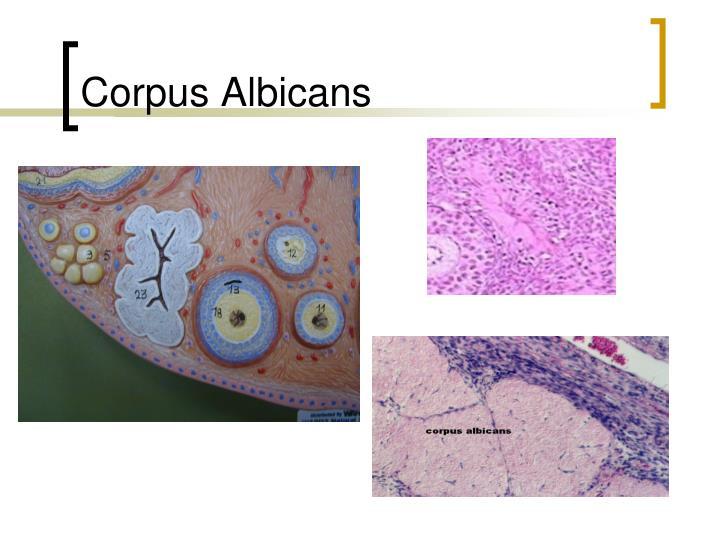 Corpus Albicans
