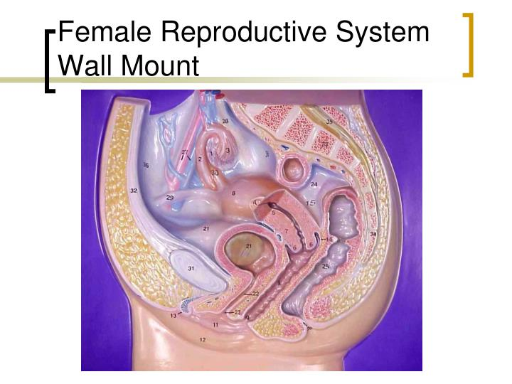 Female Reproductive System Wall Mount