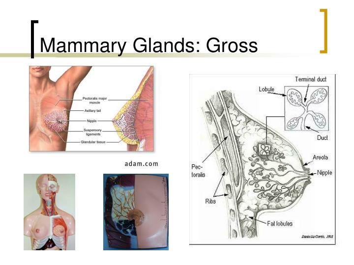 Mammary Glands: Gross
