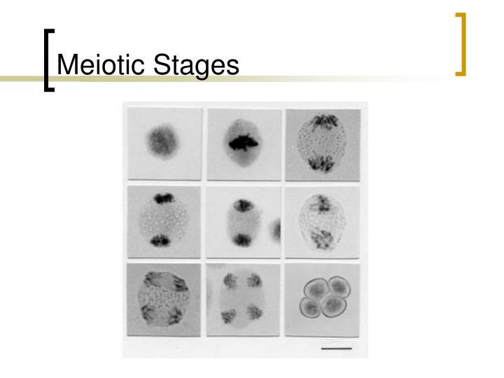 Meiotic Stages