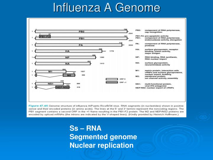 Influenza a genome