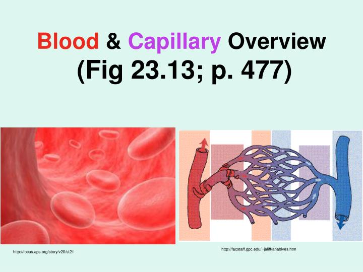 blood capillary overview fig 23 13 p 477 n.