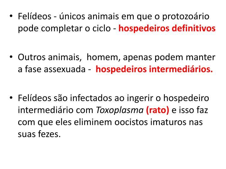 Felídeos - únicos animais em que o protozoário pode completar o ciclo -