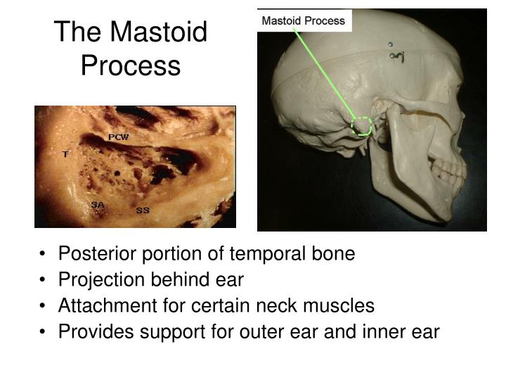 Mastoid Process Ear Images Free Download Skull And Spine At