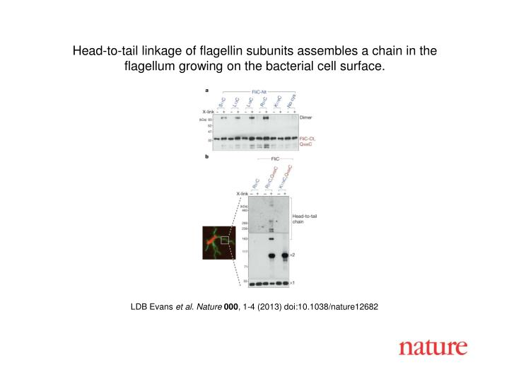 Head-to-tail linkage of flagellin subunits assembles a chain in the