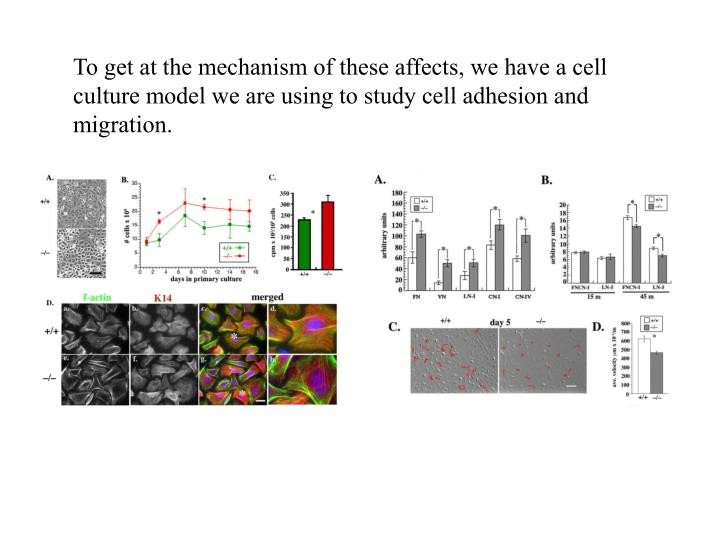 To get at the mechanism of these affects, we have a cell culture model we are using to study cell adhesion and migration.