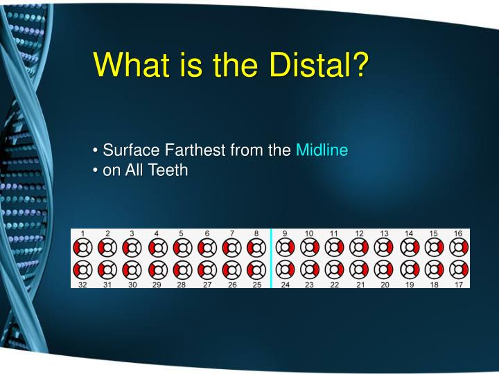 What is the Distal?
