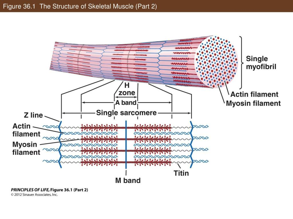 PPT - Musculoskeletal Systems PowerPoint Presentation ...