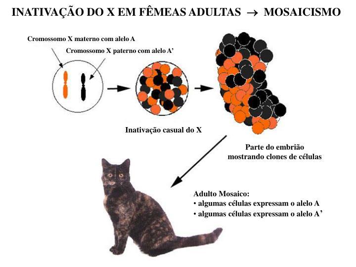 INATIVAÇÃO DO X EM FÊMEAS ADULTAS
