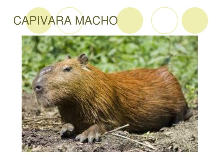 CAPIVARA MACHO