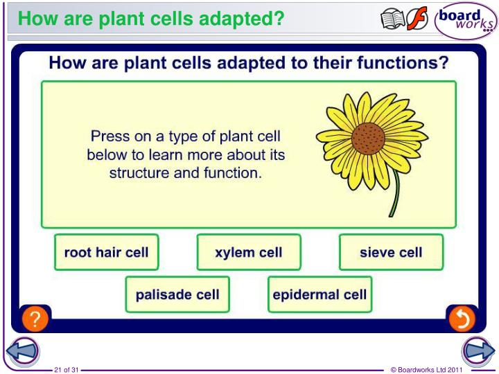 How are plant cells adapted?