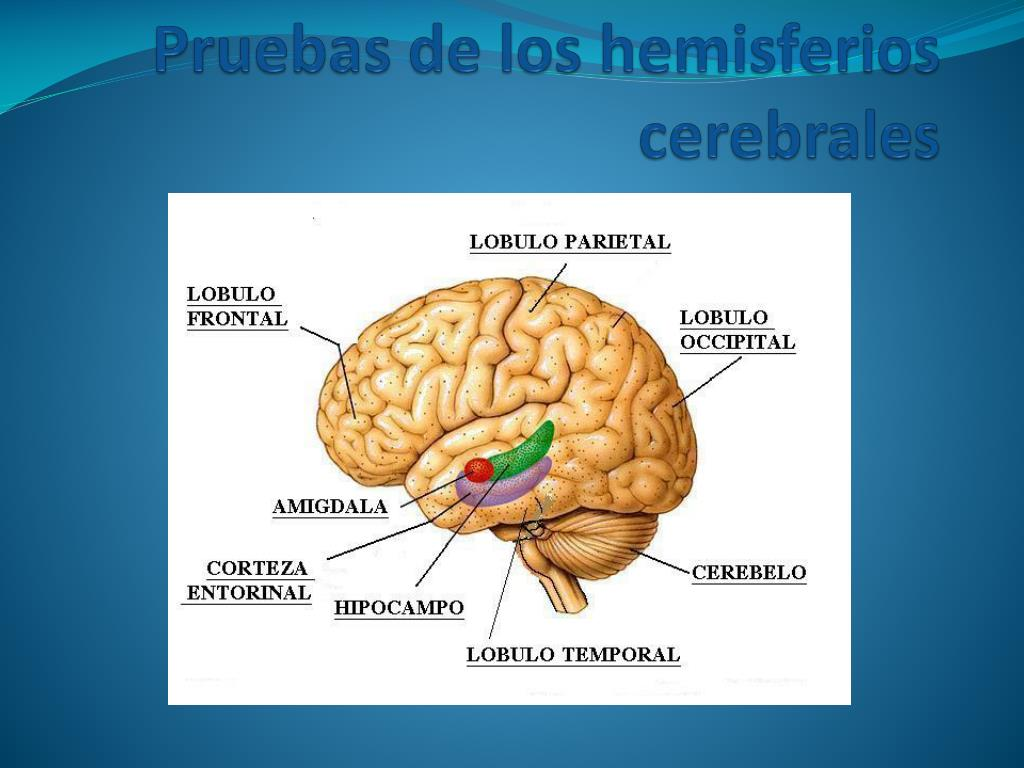 PPT - Pruebas de los hemisferios cerebrales PowerPoint Presentation ...