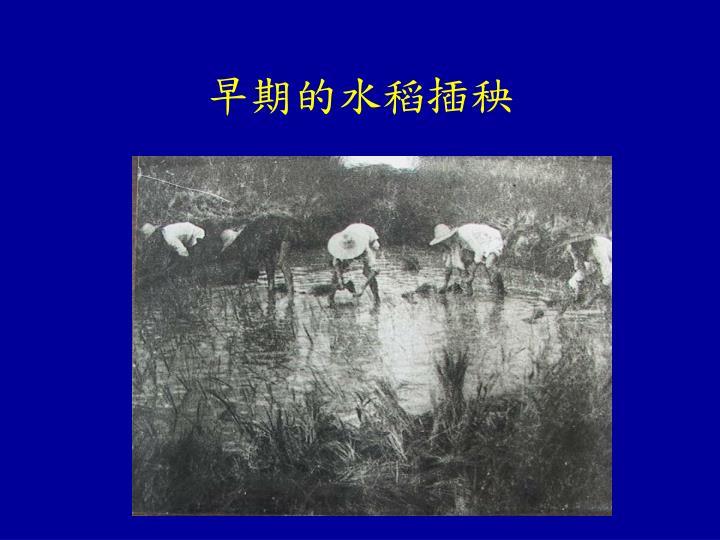 早期的水稻插秧