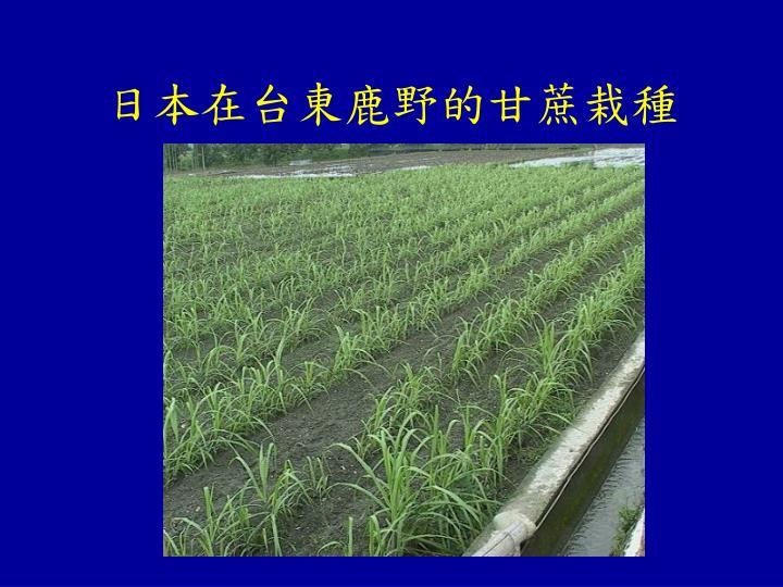 日本在台東鹿野的甘蔗栽種