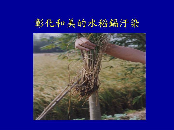 彰化和美的水稻鎘汙染
