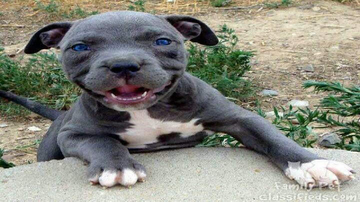 Pit bull puppy problems dog training tips