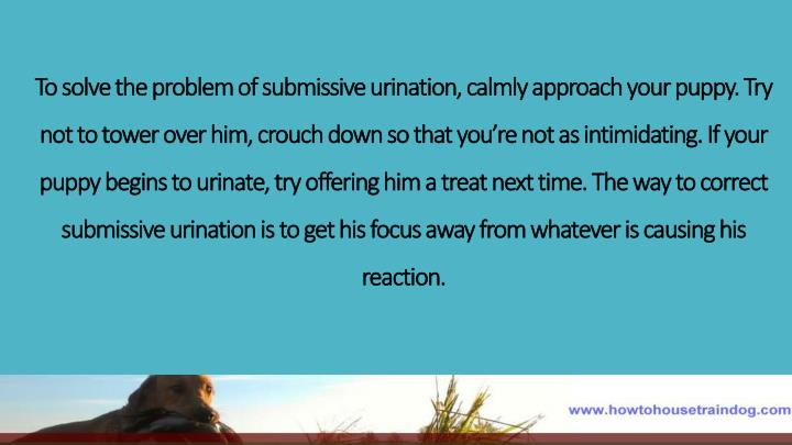To solve the problem of submissive urination, calmly approach your puppy. Try not to