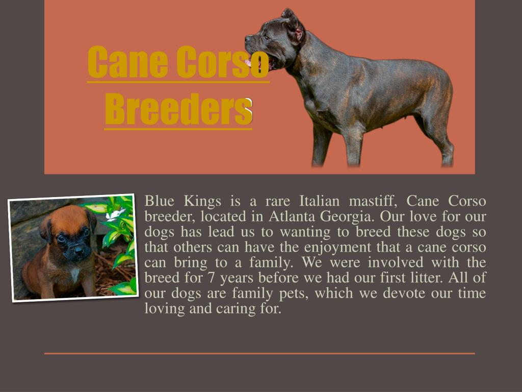Ppt Cane Corso Breeders Powerpoint Presentation Free Download Id 7122871